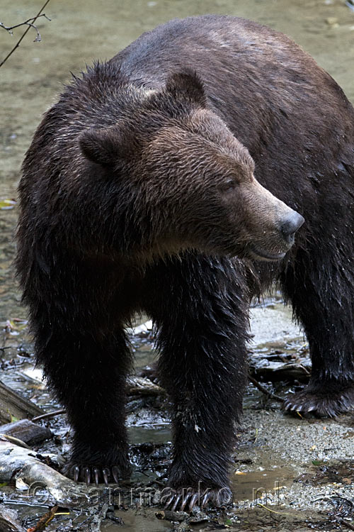 Een mooie close up foto van een mannetjes grizzly beer in de Bute Inlet
