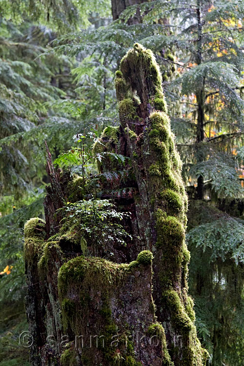 Een nursing tree in de Cathedral Grove op Vancouver Island