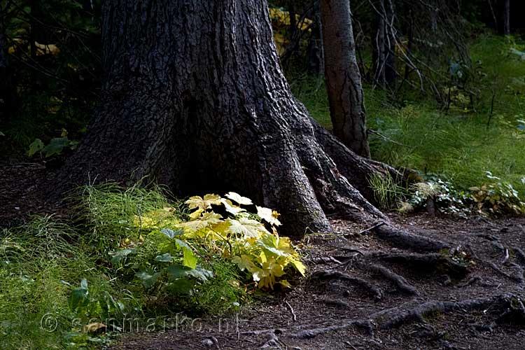 Wandelen door een mooi bos bij emerald lake in yoho national park in british columbia in canada - Bos lak ...