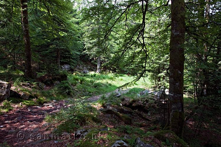 door oude bossen van de grand ventron naar de bocklochkopf in de vogezen in frankrijk
