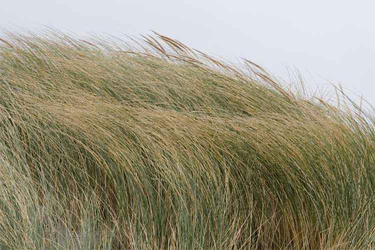 Gras in de wind