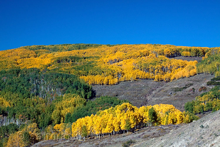 Aspen in herfstkleuren in Dixie National Forest langs highway 12