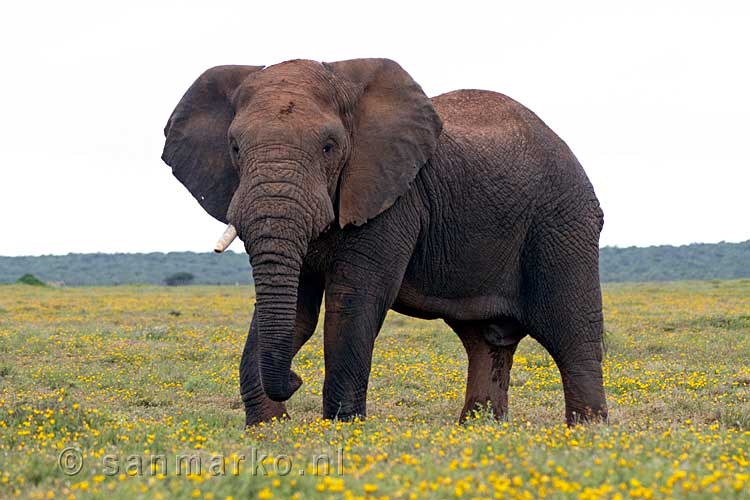 De Afrikaanse Olifant In Addo Elephant National Park In