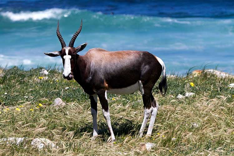 Een blesbok langs de weg in Cape Peninsula National Park Cape of Good Hope Nature