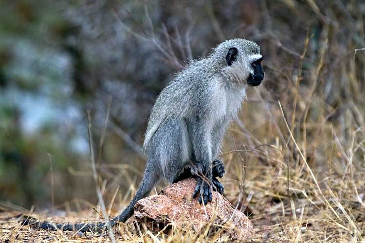 Een vervet of blauwaap bij Skukuza in Kruger National Park in Zuid-Afrika