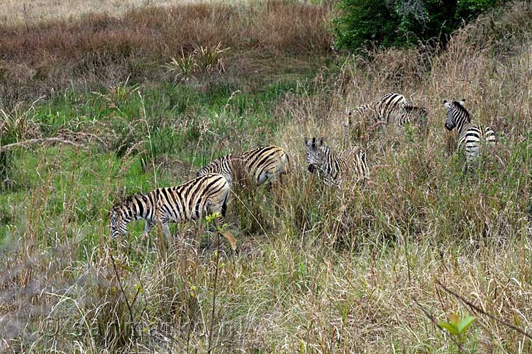 Al snel zien we Burchell's zebra's grazen langs het wandelpad in Mlilwane Wildlife Sanctuary